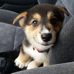 Smiling corgi puppy in car seat